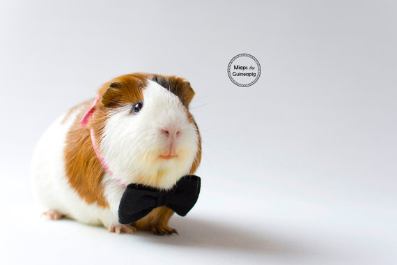Both male and female guinea pigs possess a single pair of inguinal mammary  glands