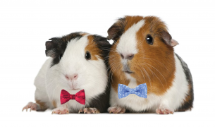 Guinea Pigs in Bow Ties